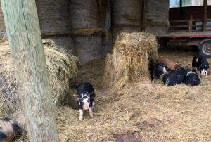 Farmstay Programm Kanada Viehzucht