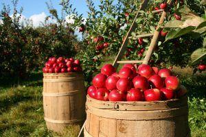 Farmhopping Apfelernte